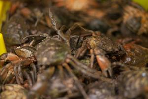 Live velvet crab